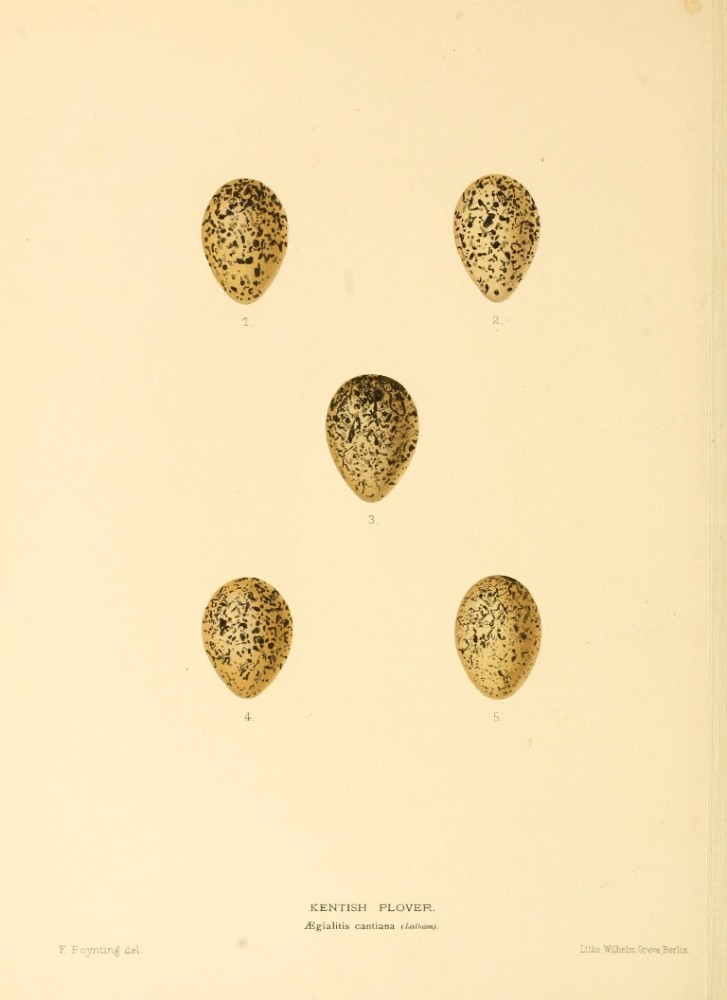 Animal - Bird - Eggs - Eggs of British Birds00 (25)