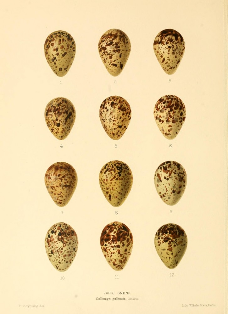 Animal - Bird - Eggs - Eggs of British Birds00 (26)