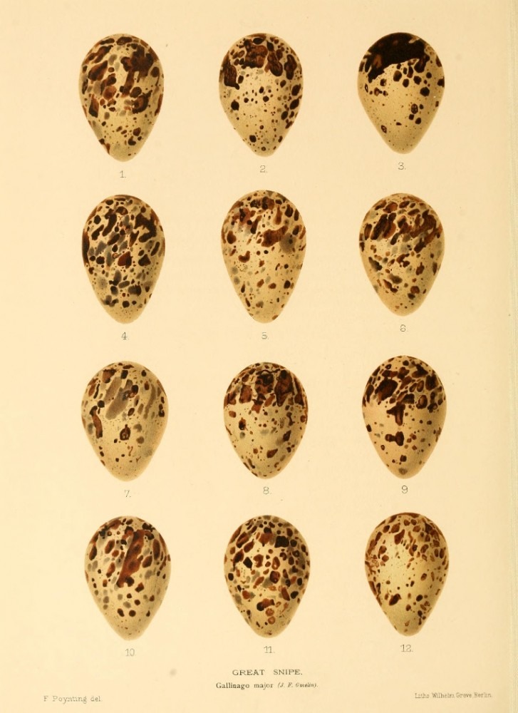 Animal - Bird - Eggs - Eggs of British Birds00 (27)