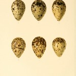 Animal - Bird - Eggs - Eggs of British Birds00 (28)
