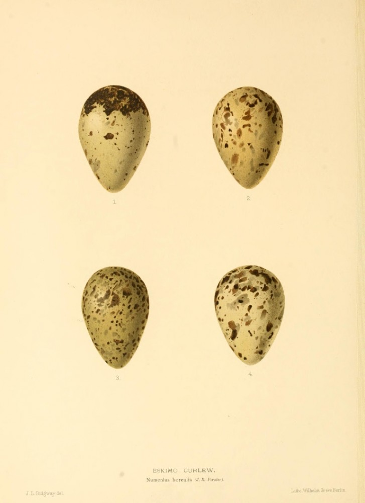 Animal - Bird - Eggs - Eggs of British Birds00 (3)