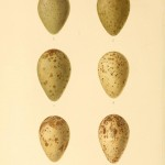 Animal - Bird - Eggs - Eggs of British Birds00 (30)