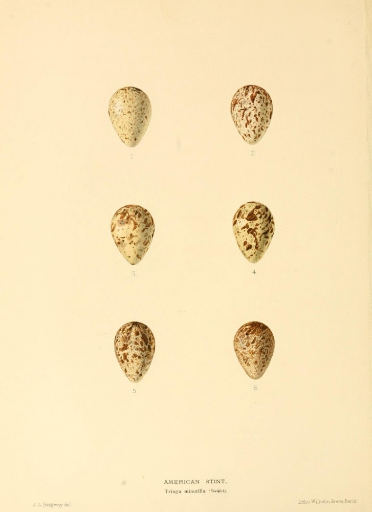 Animal - Bird - Eggs - Eggs of British Birds00 (31)