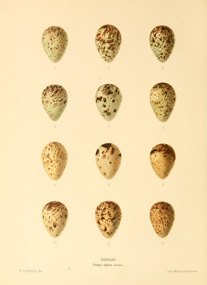 Animal - Bird - Eggs - Eggs of British Birds00 (4)