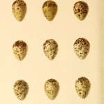 Animal - Bird - Eggs - Eggs of British Birds00 (5)