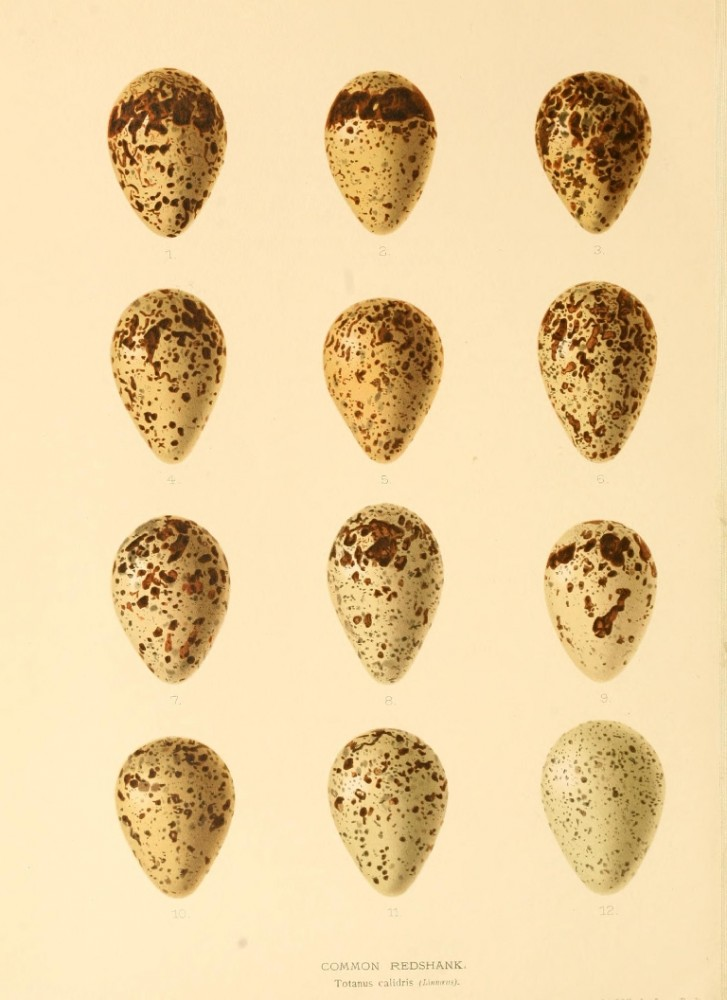 Animal - Bird - Eggs - Eggs of British Birds00 (6)