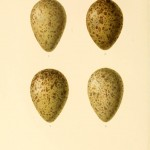 Animal - Bird - Eggs - Eggs of British Birds00 (7)