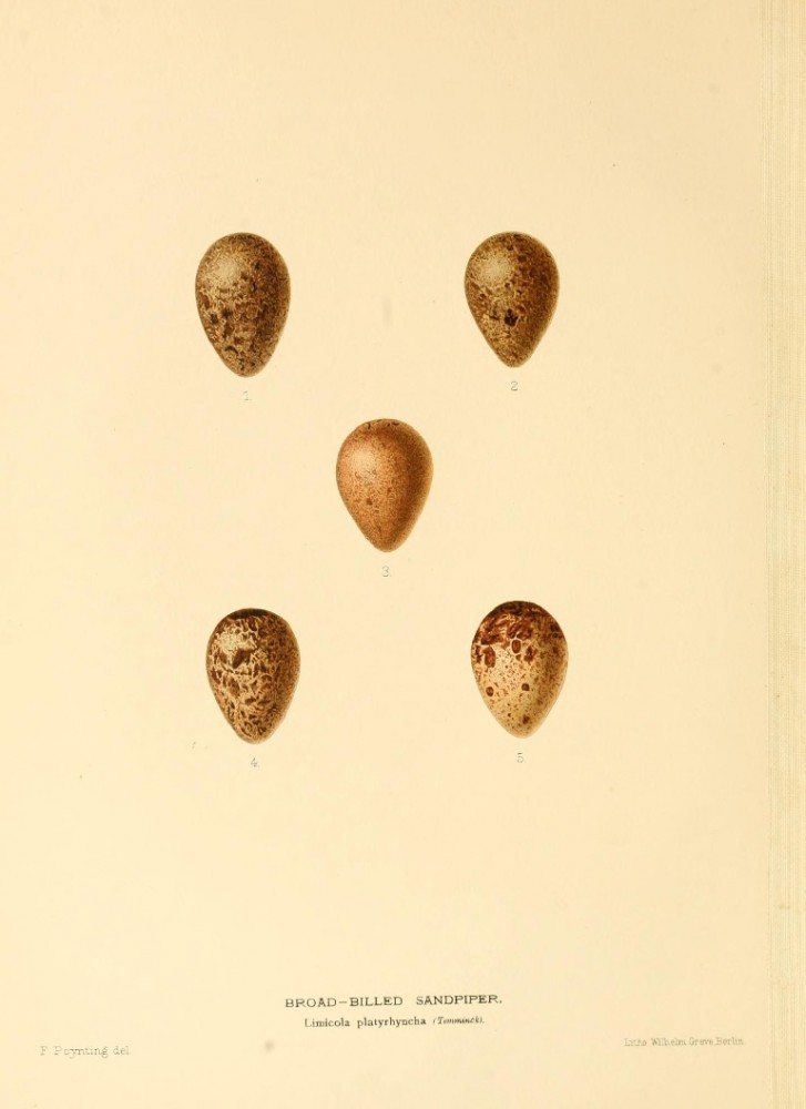 Animal - Bird - Eggs - Eggs of British Birds00 (9)