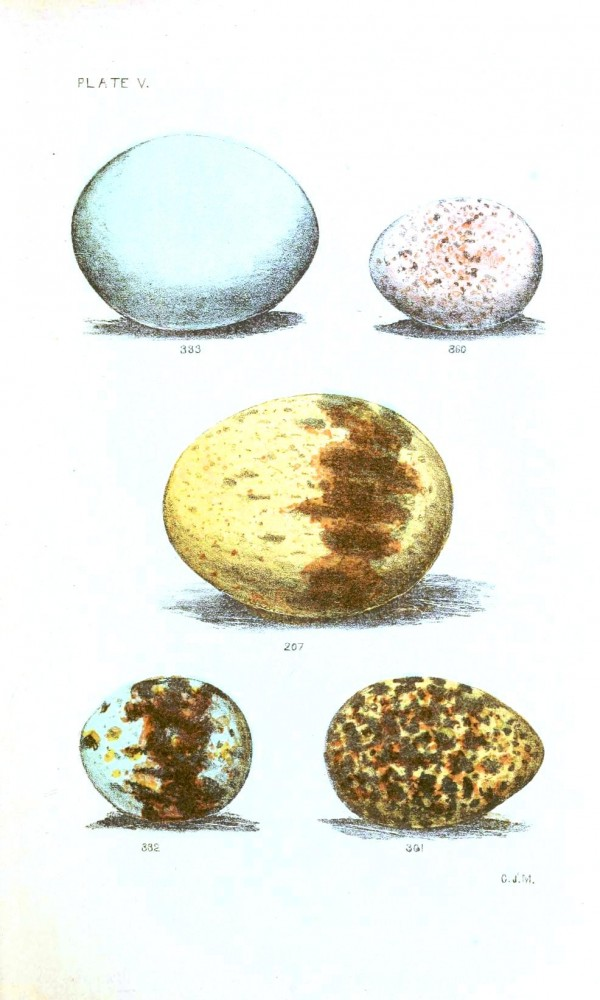 Animal - Bird - Eggs - Eggs of North American Birds (1)