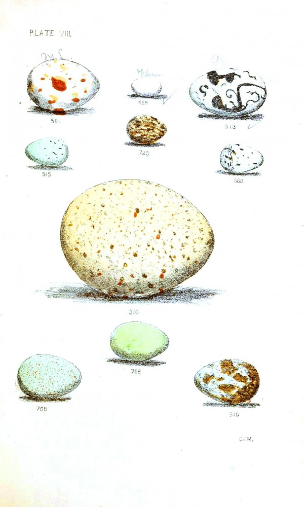 Animal - Bird - Eggs - Eggs of North American Birds (3)
