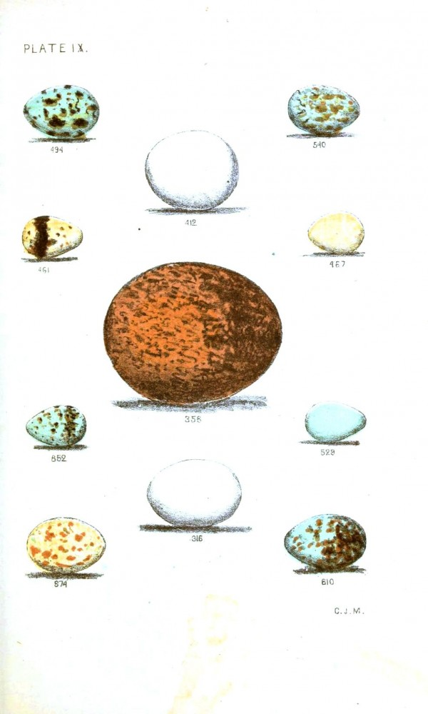 Animal - Bird - Eggs - Eggs of North American Birds (4)