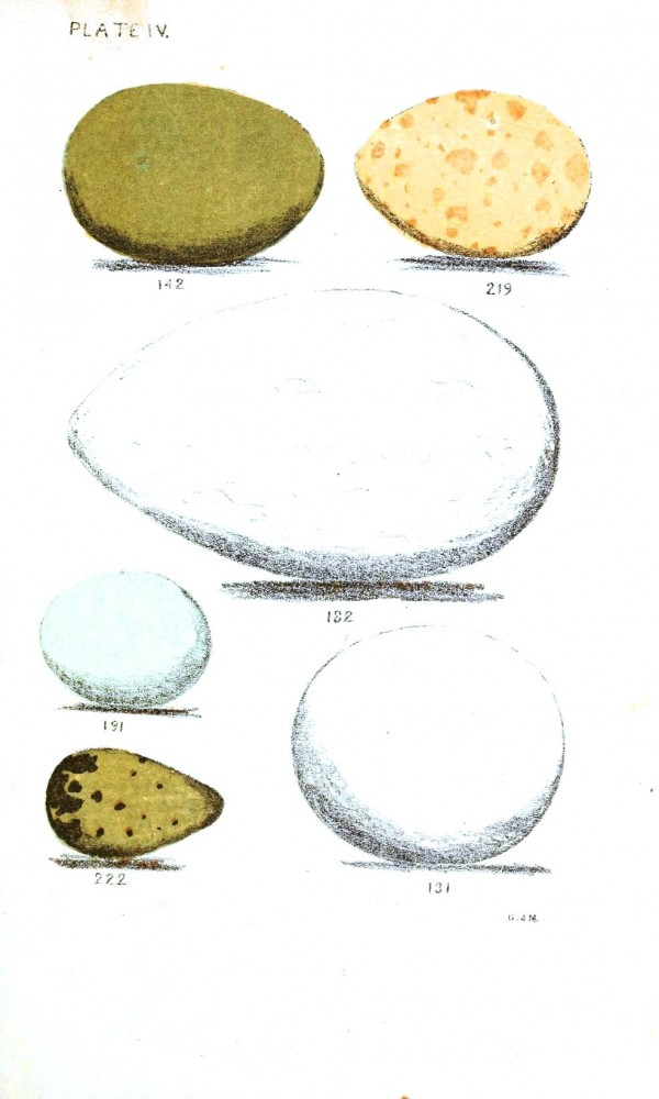 Animal - Bird - Eggs - Eggs of North American Birds (6)
