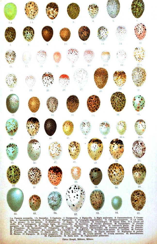 Animal - Bird - Eggs - Italian  (1)