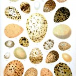 Animal - Bird - Eggs - Italian  (2)