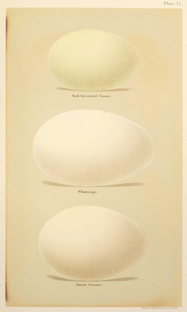 Animal - Bird - Eggs and nests - British Birds -   (14)