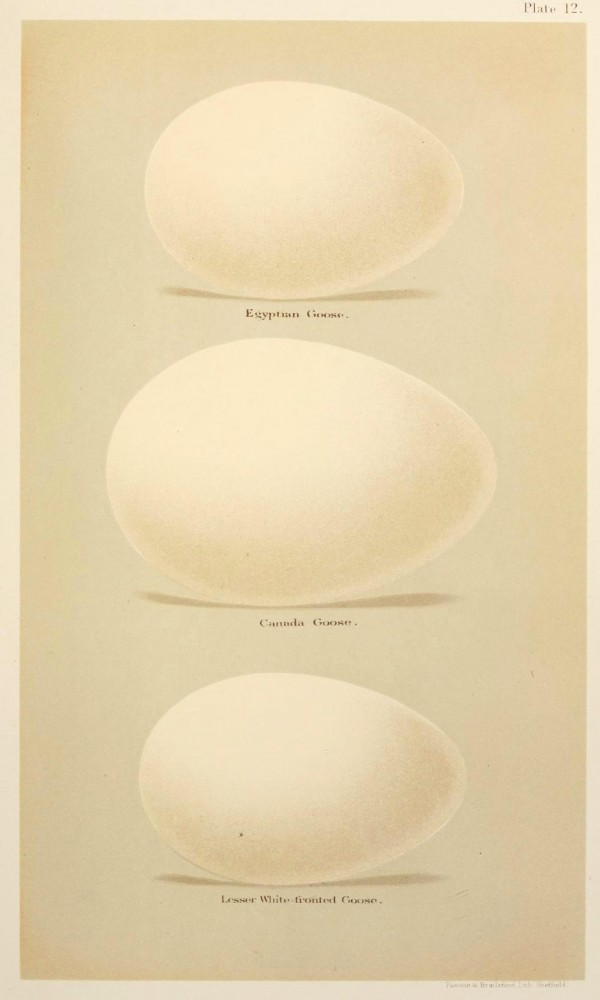 Animal - Bird - Eggs and nests - British Birds -   (15)