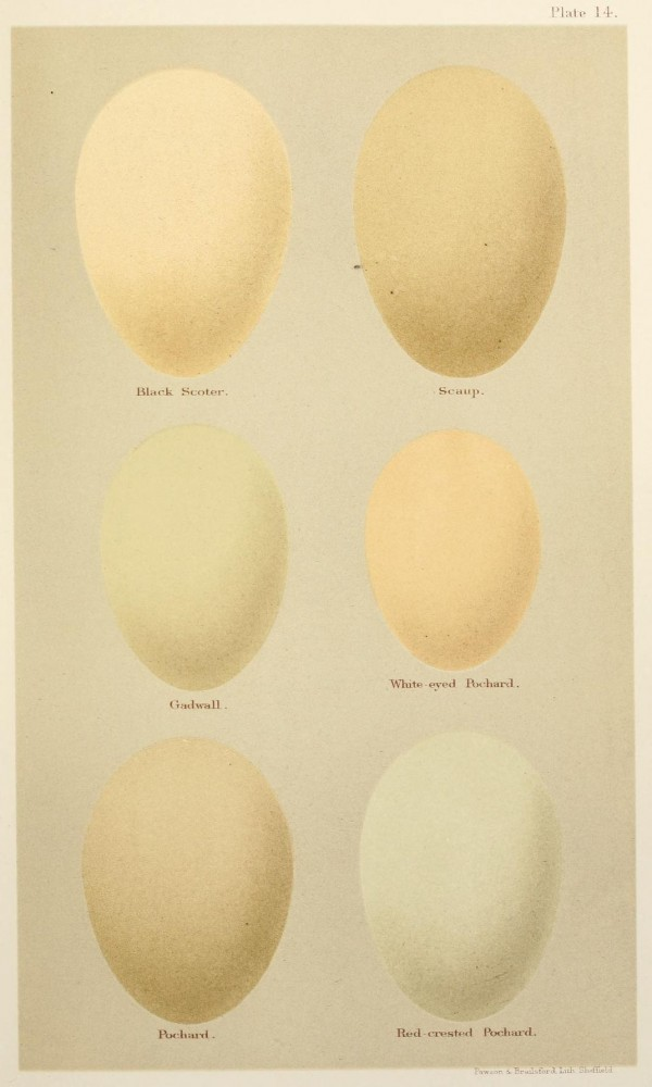 Animal - Bird - Eggs and nests - British Birds -   (17)