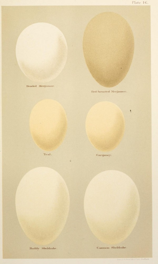 Animal - Bird - Eggs and nests - British Birds -   (19)
