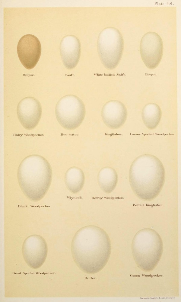 Animal - Bird - Eggs and nests - British Birds -   (2)