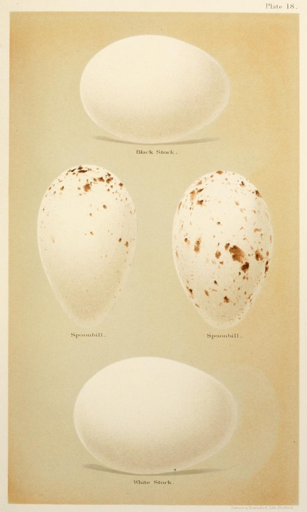Animal - Bird - Eggs and nests - British Birds -   (21)