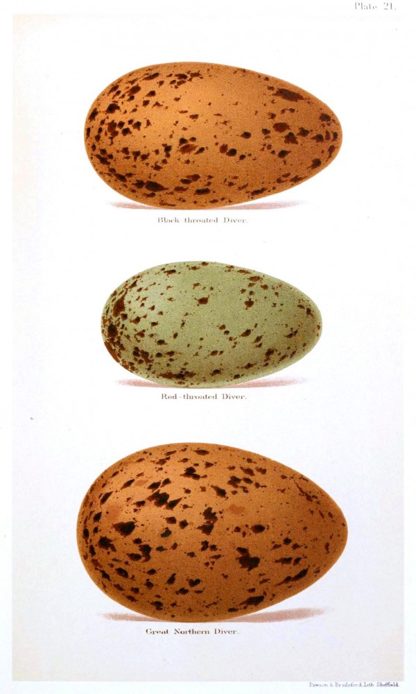 Animal - Bird - Eggs and nests - British Birds -   (24)