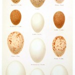 Animal - Bird - Eggs and nests - British Birds -   (25)