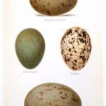 Animal - Bird - Eggs and nests - British Birds -   (26)