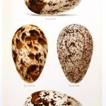 Animal - Bird - Eggs and nests - British Birds -   (27)