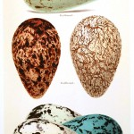 Animal - Bird - Eggs and nests - British Birds -   (28)