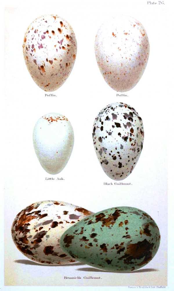 Animal - Bird - Eggs and nests - British Birds -   (29)