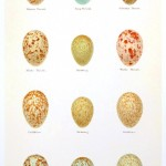 Animal - Bird - Eggs and nests - British Birds -   (4)