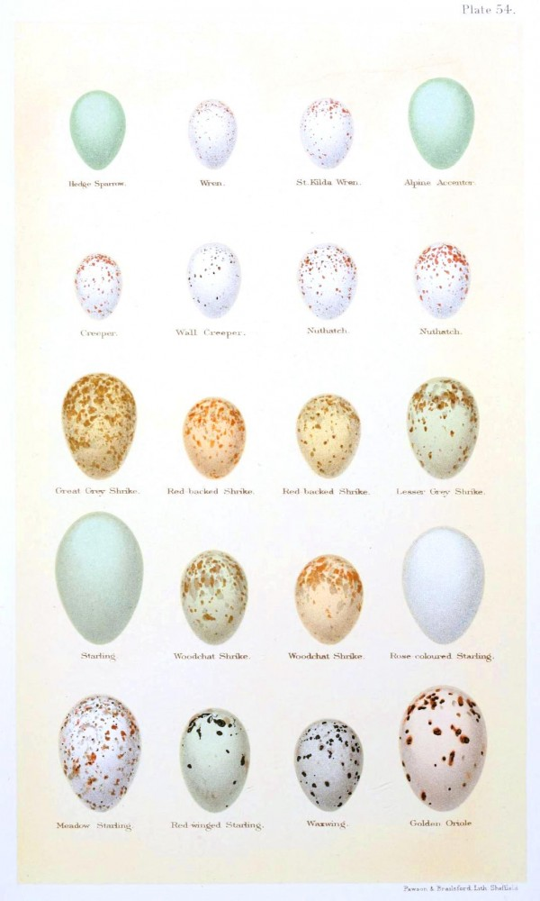 Animal - Bird - Eggs and nests - British Birds -   (8)