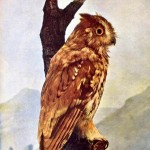 Animal - Bird  -Owl - Photo 1897 - Screech Owl