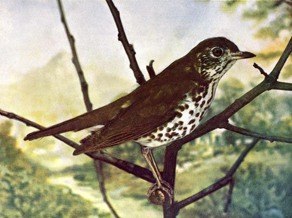 Animal - Bird  - Photo 1897 - Bird with brown spots Woodthrush