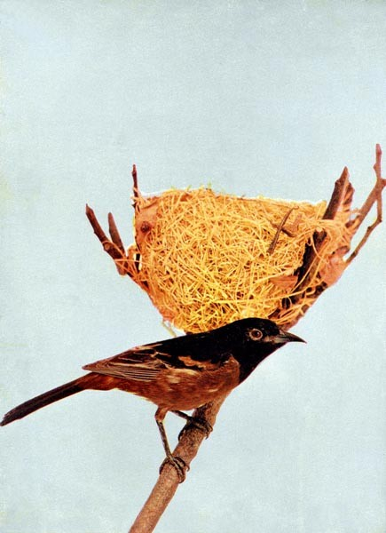 Animal - Bird  - Photo 1897 - Bird with nest - Orchard oriole