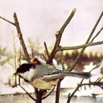 Animal - Bird  - Photo 1897 - Black capped chicadee