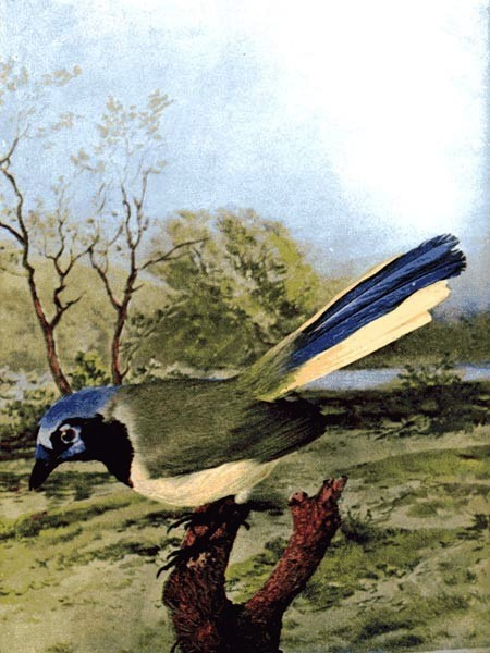 Animal - Bird  - Photo 1897 - Blue Jay (2)