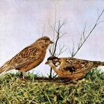 Animal - Bird  - Photo 1897 - Brown birds