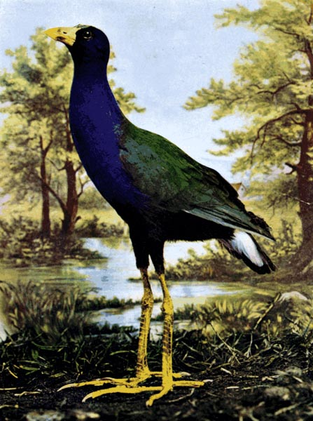 Animal - Bird  - Photo 1897 - Cobalt blue swamp bird