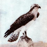 Animal - Bird  - Photo 1897 - Hawk