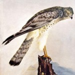 Animal - Bird  - Photo 1897 - Marsh Hawk