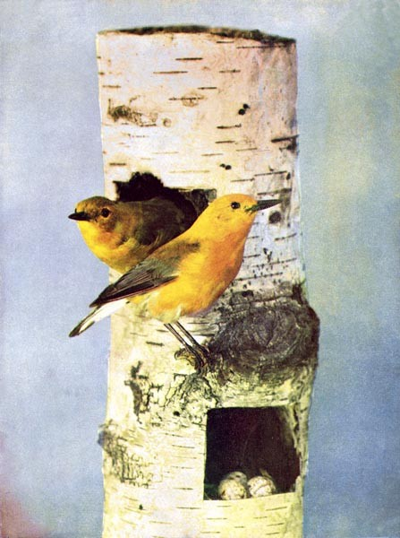 Animal - Bird  - Photo 1897 -  Prothonary Warbler