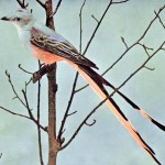 Animal - Bird  - Photo 1897 - Scissor Tailed Flycatcher