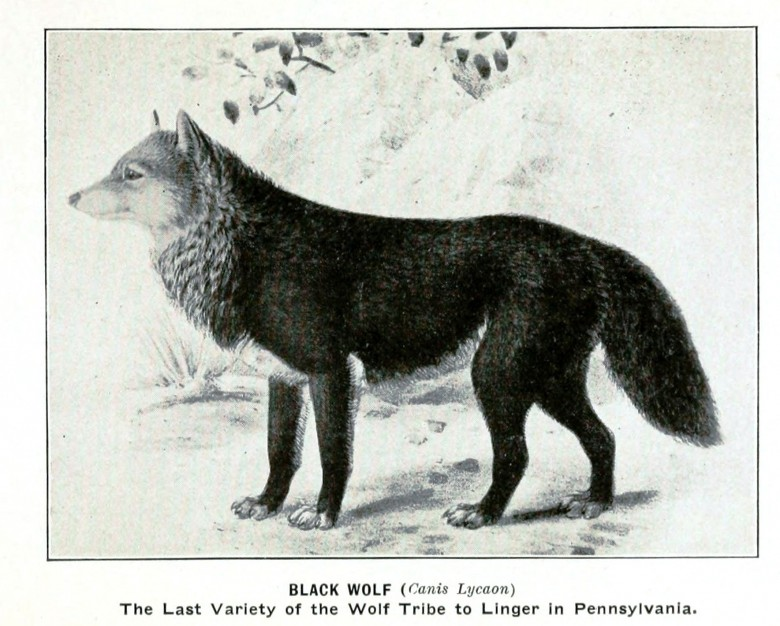 Animal - Black Wolf - Extinct Pennsylvania Animals