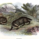 Animal - British mammal (1896) - Badger