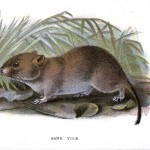 Animal - British mammal (1896) - Bank Vole