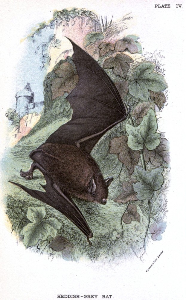 Animal - British mammal (1896) - Bat flying