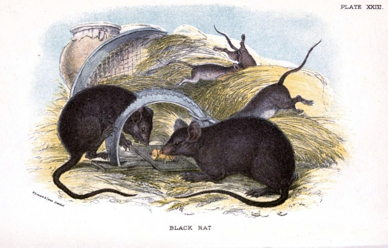 Animal - British mammal (1896) - Black Rat