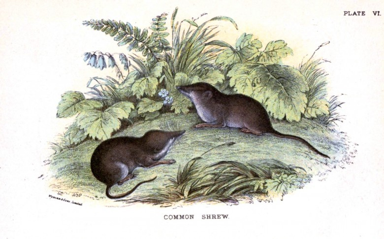 Animal - British mammal (1896) - Common shrew