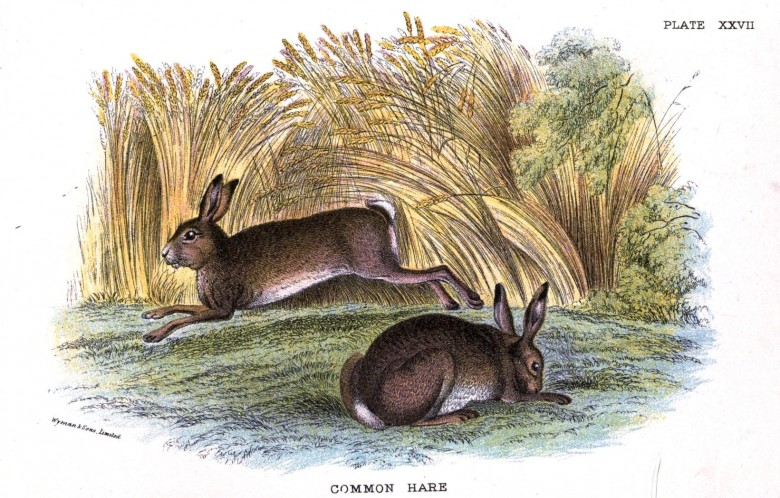 Animal - British mammal (1896) - Woodland - Common Hare